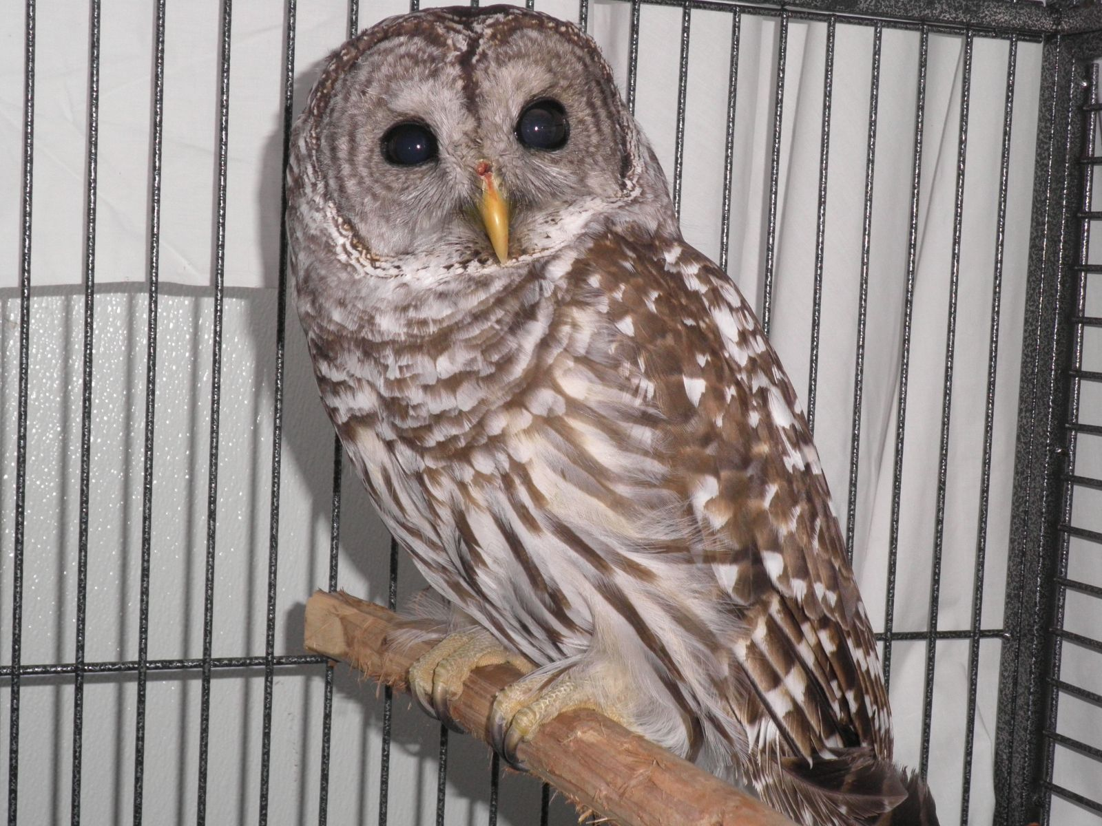 barred owl2 1-12-12
