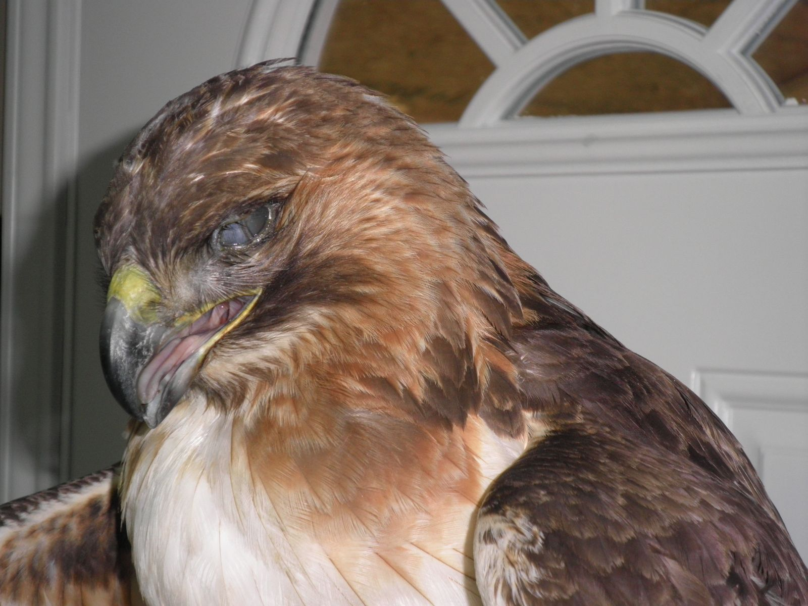red tailed hawk 3-13(1)