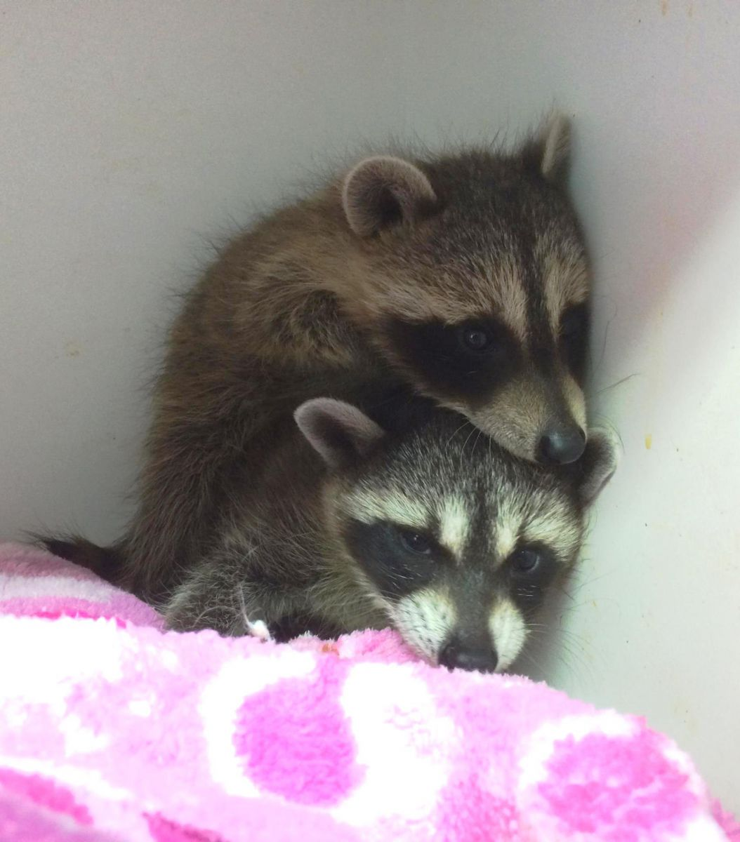 5-28 flood raccoons