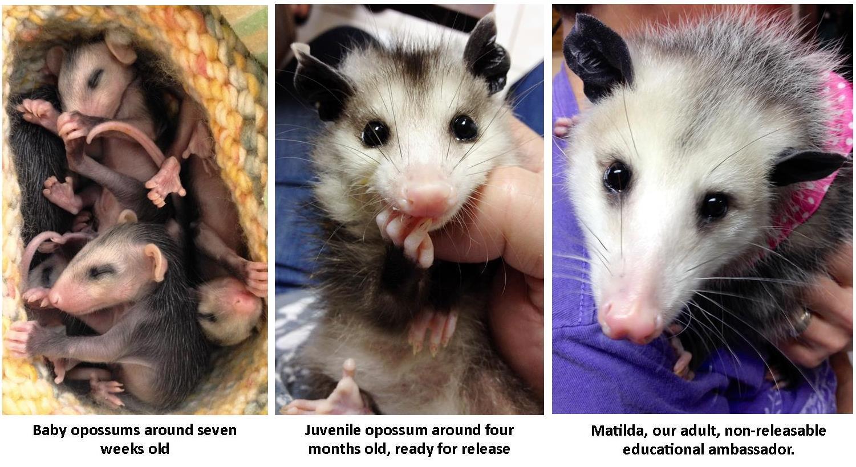 opossum collage(1)