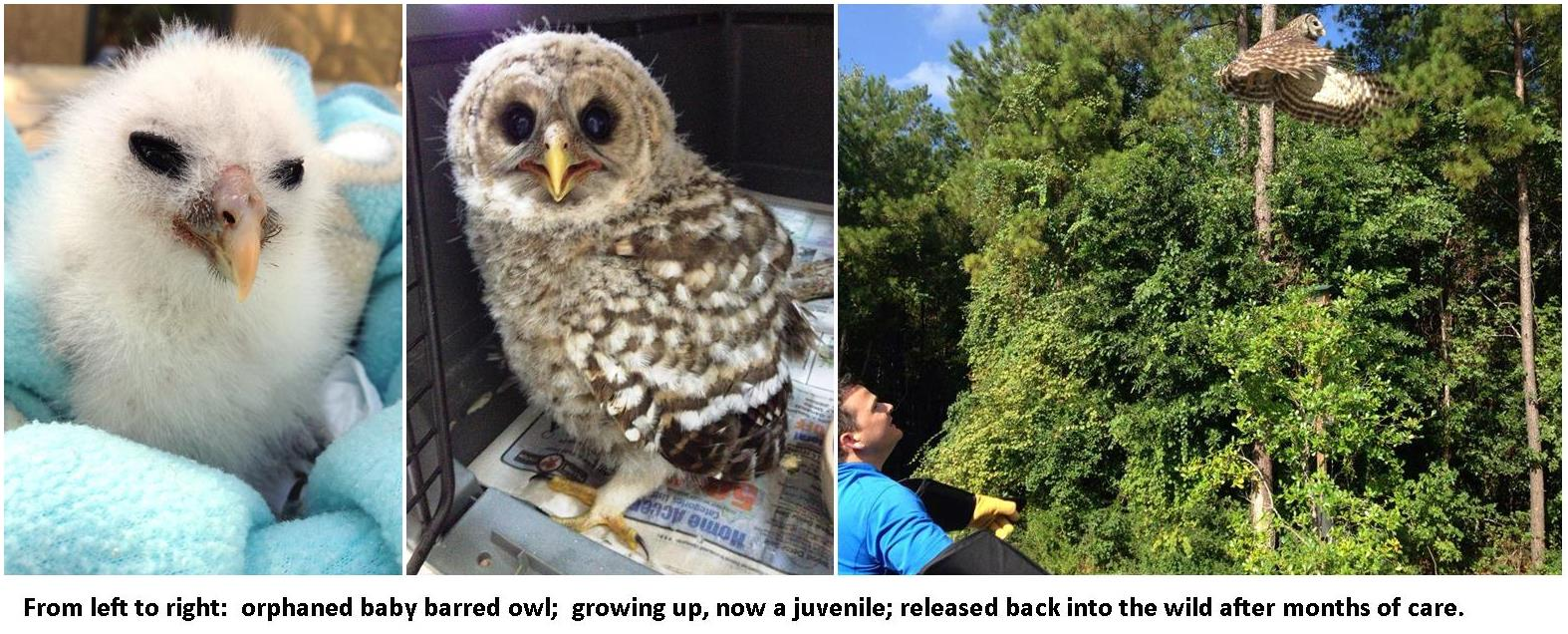 collage before and after barred owl