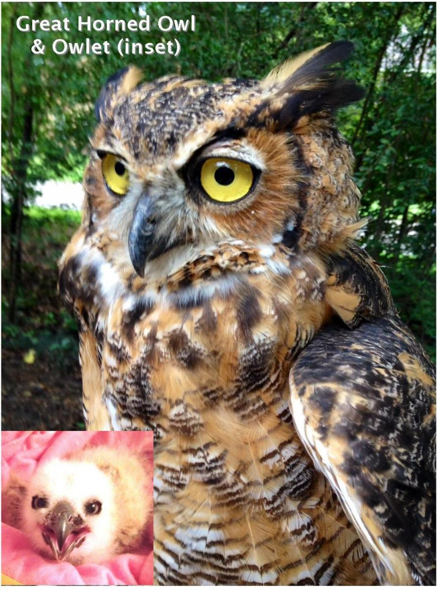 owls, october, 2016 gho pics
